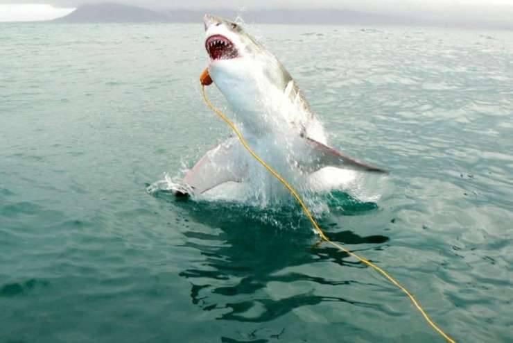 Żarłacz biały 6