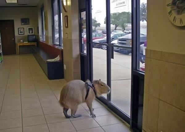 Udomowiona kapibara 4