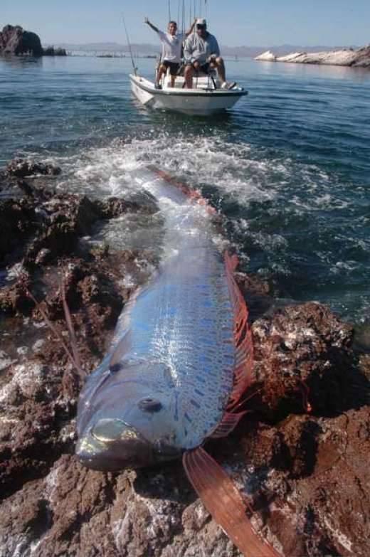 Dziwnie długa ryba 1