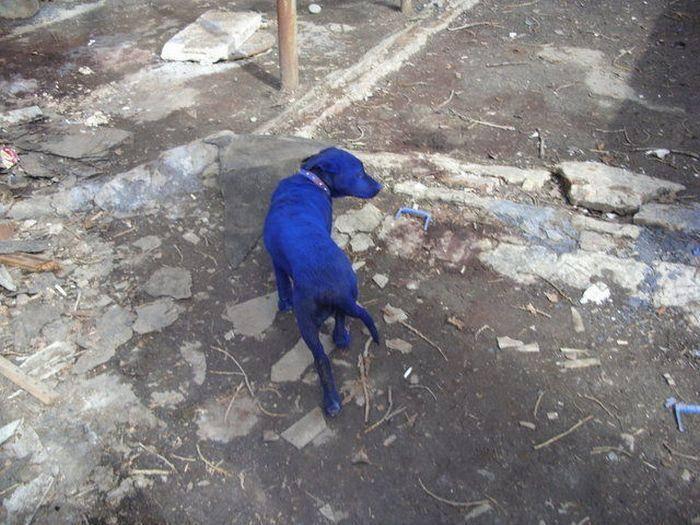 Niebieski pies 6