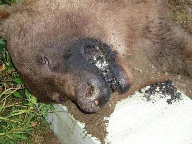 Niedźwiedź porażony prądem 4