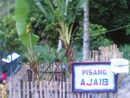 678171278b20a385e8a6253bcb54cbe8be3caff Pohon pisang bertandan 4 di Sayur Matinggi